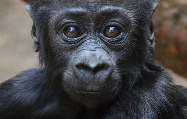 Almost five months old baby gorilla Jengo looks at the photographer on May 8, 2014 at the zoo in Leipzig, eastern Germany. Jengo was born in December 2013 at the zoo. (Photo by Hendrik Schmidt/AFP Photo/DPA)