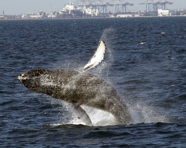 A humpback whale breaches off the Long Beach Coast during a whale watching trip on The Harbor Breeze Cruises Triumphant  in Long Beach, Saturday, July 11, 2015. (Photo by Nick Ut/AP Photo)
