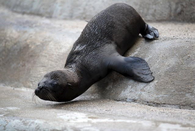 "Newborn sea lion ""Kaya"" crawls at the enclosure at the zoo in Wuppertal, Germany July 23, 2015. (Photo by Ina Fassbender/Reuters)"