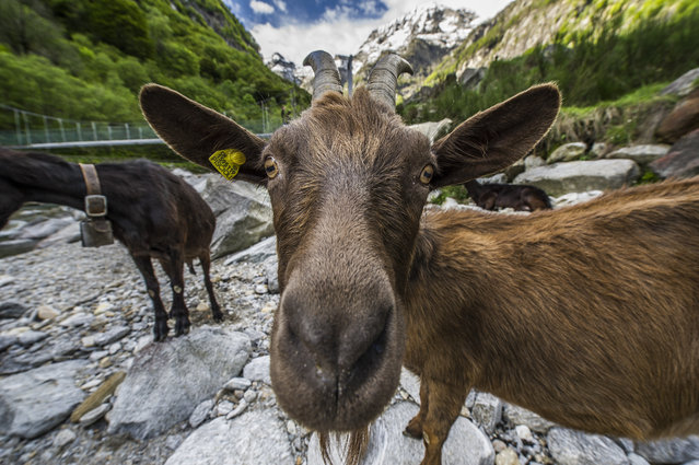 """""""Foggy if too close"""". During a Milking and Cheese making fotosession in the Verzasca Valley in southern Switzerland i had this curious goat getting closer and closer...one shot was so blurry as the breath out of the nose fogged my lens completely up. Photo location: Ticino, Switzerland. (Photo and caption by Farid Laid/National Geographic Photo Contest)"""