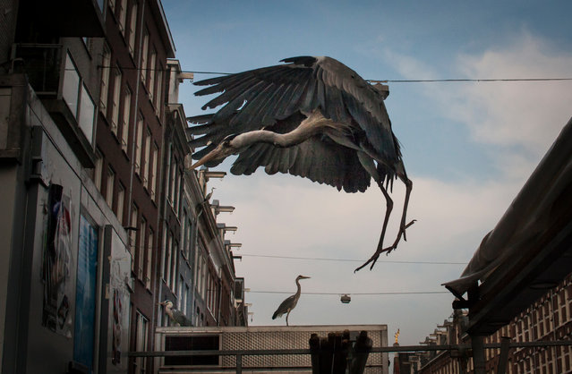 Some regulars in a nearby cafe hold a contest to see who can capture the most herons in one photo. The current record is 29. (Photo by by Julie Hrudova/The Guardian)