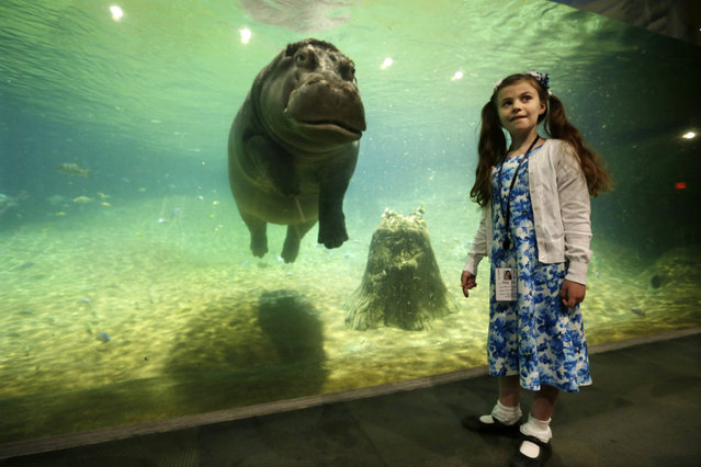 """Nine-year-old Audrey Bruben, of South River, N.J., gets a look from Genny, a 4,000 pound hippopotamus, as Adventure Aquarium opened a hippopotamus exhibit, """"Hippo Haven"""", Thursday, May 29, 2014, in Camden, N.J. (Photo by Mel Evans/AP Photo)"""