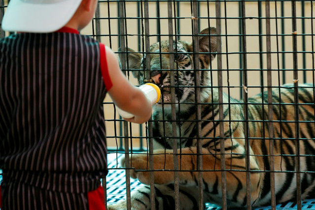 A boy feeds milk to a tiger cub at the Sriracha Tiger Zoo, in Chonburi province, Thailand, June 7, 2016. (Photo by Chaiwat Subprasom/Reuters)