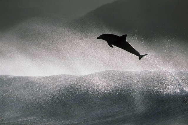"""Huglin said it's both humbling and exciting to be in the presence of such powerful animals. """"Bottlenose dolphins are the ones that do all the really fancy surfing"""", he said. """"They're up to 12 feet long, those suckers. ... When you put your hand on one of them, they're solid muscle. It's amazing how powerful they are"""""""