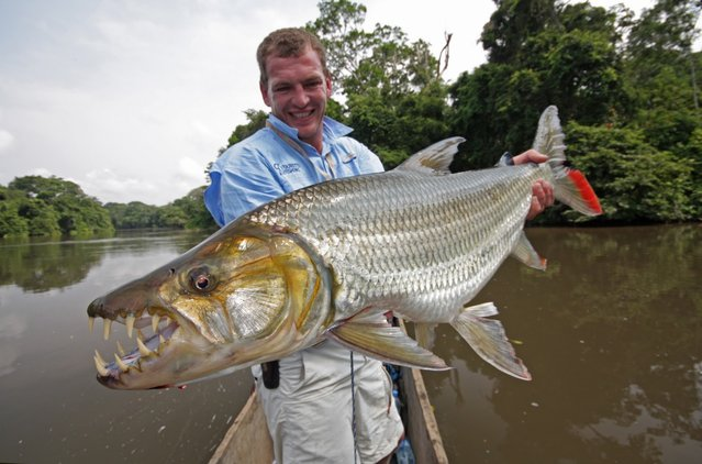 Hydrocynus goliath, also known as the goliath tigerfish, giant tigerfish or mbenga