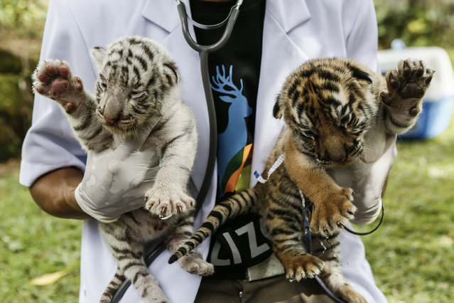 A veterinarian handles two new born Bengal tiger cubs at Bali Zoo on August 12, 2015 in Gianyar, Bali, Indonesia. The Bengal tiger cubs were born on Sunday, August, 2 2015 in Bali Zoo. (Photo by Putu Sayoga/Getty Images)