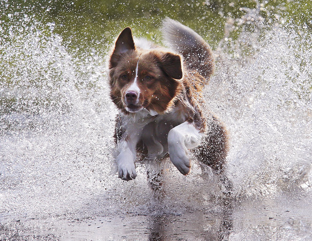 Australian shepherd dog Lizzi runs through the water to catch a ball in a park in Frankfurt, Germany, Thursday, August 17, 2017. (Photo by Michael Probst/AP Photo)