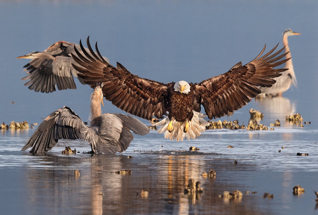 Grand Prize Winner | Bald eagle and Great blue herons in Seabeck, Wash. (Photo by Bonnie Block/Audubon Photography Awards)