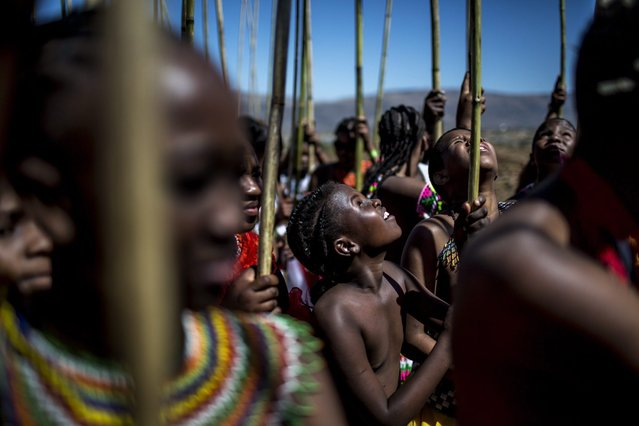 Ceremonial reeds are carried by South African maidens during the Reed Dance ceremony on September 5, 2014 at the eNyokeni Royal Palace in Nongoma in the KwaZulu-Natal region, during the 13th anniversary of the Reed Dance (uMkhosi woMhlanga) celebrated by the Zulu King, Goodwill Zwelithin. (Photo by Marco Longari/AFP Photo)