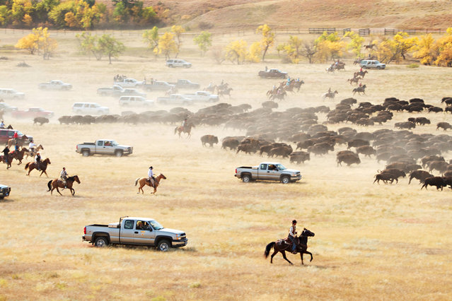 More than 1,000 buffalo ran across the prairie land  September 24, 2012, during the 47th annual Buffalo Roundup in western South Dakota's Custer State Park. Event organizers estimate that more than 14,000 people attended the event. (Photo by Kristi Eaton/Associated Press)