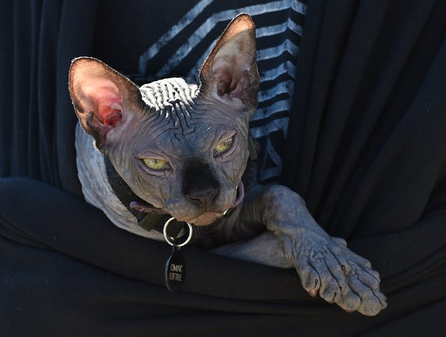Omar a Canadian Sphinx cat is carried in its owners jacket during the Los Angeles Feline Film Festival at the Memorial Coliseum in Los Angeles on September 21, 2014. The annual event featuring celebrity cats and feline films raises money for local cat sanctuaries and rescue organizations. (Photo by Mark Ralston/AFP Photo)