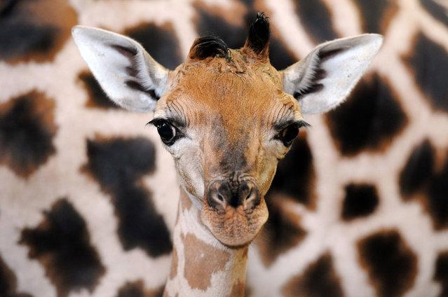 Oliver, a 17-day-old Rothschild's giraffe calf, relaxes at the town's zoo Dvůr Králové, Czech Republic on August 18, 2016. (Photo by Slavek Ruta/Rex Features/Shutterstock)