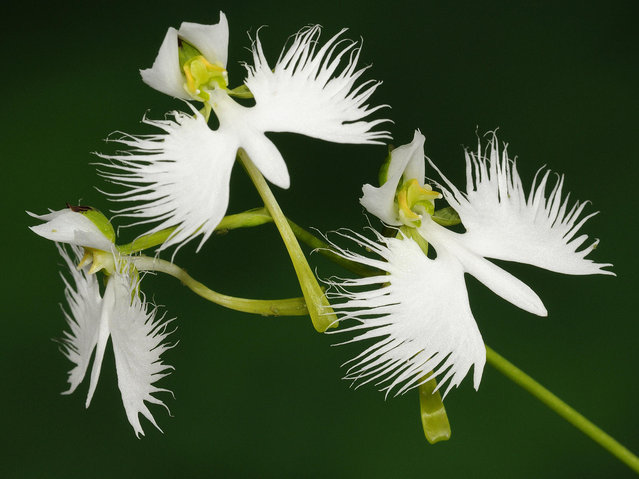 The White Egret Flower - Habenaria Radiata
