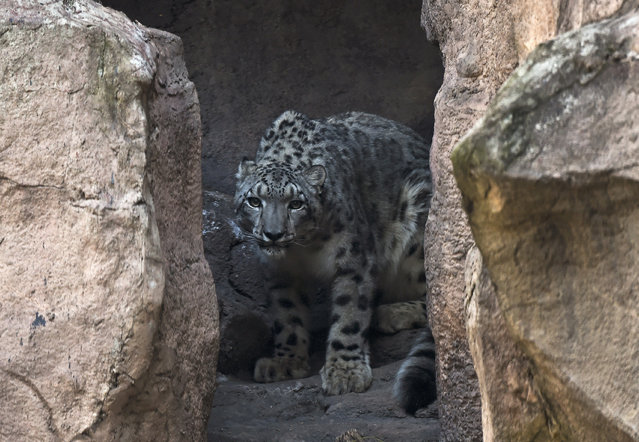 An snow leopard (Panthera uncia) is pictured at the Chapultepec Zoo, in Mexico City, on October 27, 2014. The snow leopard is a large cat native to the mountain ranges of Central and South Asia. (Photo by Ronaldo Schemidt/AFP Photo)