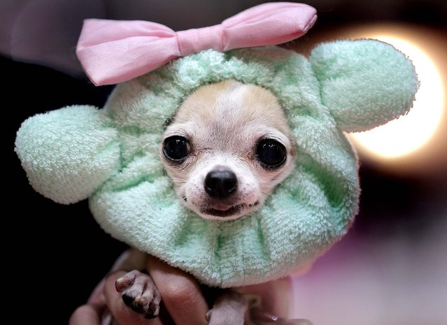 """An 11-year-old female chihuahua named """"Grizett"""" wears a fashion item during an event in Tokyo, January 23, 2013. (Photo by Itsuo Inouye/Associated Press)"""