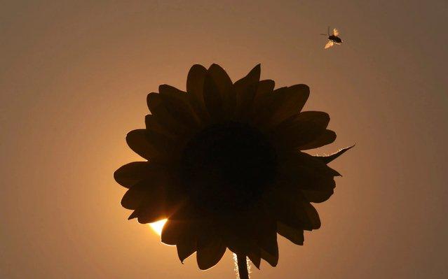 An elm seed bug flies past a sunflower as the sunsets in Idaho Falls, Idaho, on Thursday, August 20, 2020. (Photo by John Roark/The Idaho Post-Register via AP Photo)