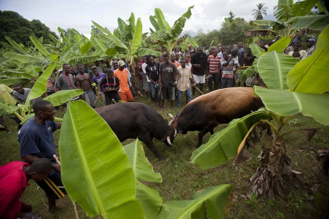 In this November 9, 2014 photo, people gather to watch a fight between bulls that they organized on a banana farm in Leogane, Haiti. Lunging or digging their legs into the soil, the animals battle while men shout and wave money. (Photo by Dieu Nalio Chery/AP Photo)