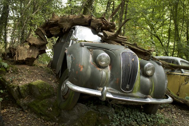 "Michael Fröhlich's Jowett Javelin rotting car in his forest sculpture park in Neandertal Germany, September 11, 2016. An eccentric artist has collected fifty vintage cars and left them to rot in a forest – and now they're worth over $1 million. Former racing driver Michael Fröhlich, from Dusseldorf, Germany, has purposely crashed the cars into trees, buried them in mud and parked them on cliff faces in his estate's garden in the middle of the German Neanderthal. His collections includes a Jaguar XK120 worth $170,000, a Porsche 356 racer and a Buick worth $17,000. Perhaps his most interesting collectable is a Rolls Royce, with a purposefully misspelt ""Buckingham Palace"" – replacing the B with an F – emblazoned on the side with a replica of the Queen Elizabeth at the wheel. (Photo by Christoph Hagen/Barcroft Images)"