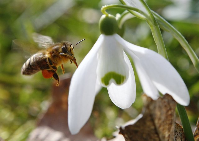 A honeybee approaches a snowdrop flower in Klosterneuburg on the first day of spring March 20, 2013. (Photo by Heinz-Peter Bader/Reuters)