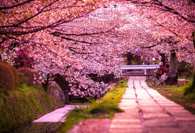 A cyclist and her friend stare in awe at the gloriously vivid pink blossoms, which line Japan's sacred Philosopher's Path in Kyoto. (Photo by Ark Tui/500px)
