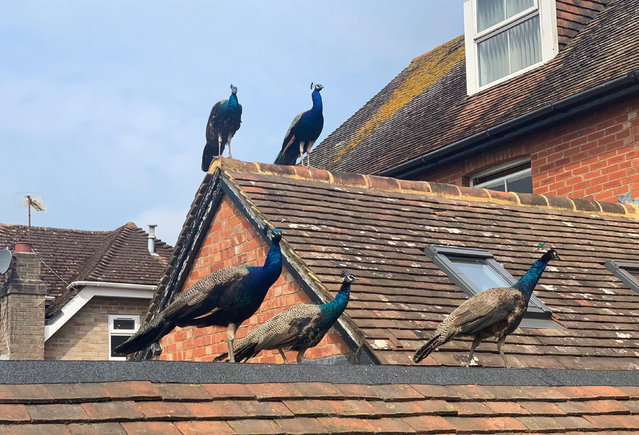 Peacocks settle on a roof in Henfield, West Sussex, England in October 2020. (Photo by Finty George/PA Wire Press Association)