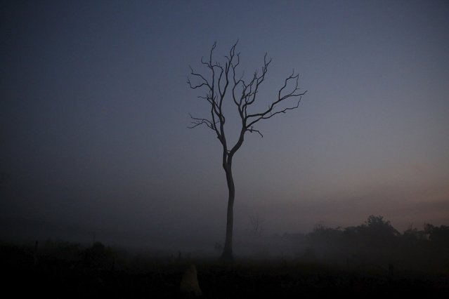 A tree is pictured at sunrise in the village of Rio Pardo next to Bom Futuro National Forest, in the district of Porto Velho, Rondonia State, Brazil, September 2, 2015. (Photo by Nacho Doce/Reuters)