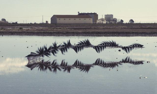 A black-winged stilt at Ebro Delta. (Photo by Xavi Bou/Rex Features/Shutterstock)