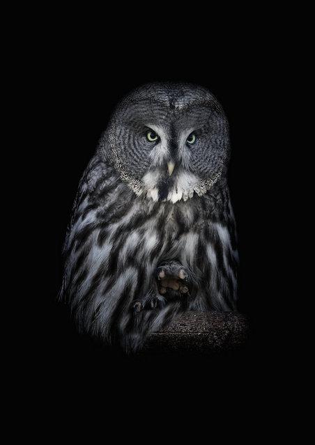 Ural Owls By Lilia Tkachenko