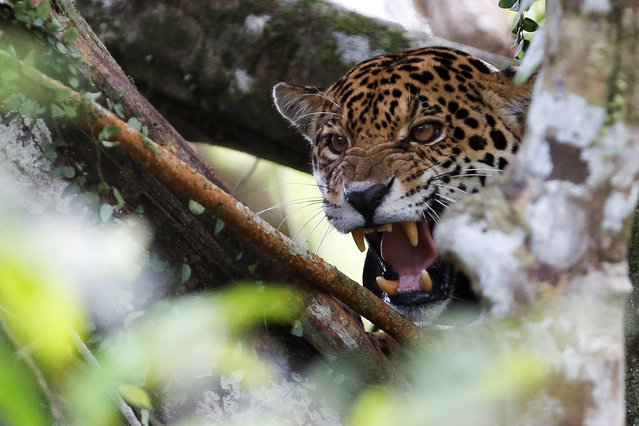 A female adult jaguar, which has a cub, growls at the Mamiraua Sustainable Development Reserve in Uarini, Amazonas state, Brazil, June 5, 2017. (Photo by Bruno Kelly/Reuters)