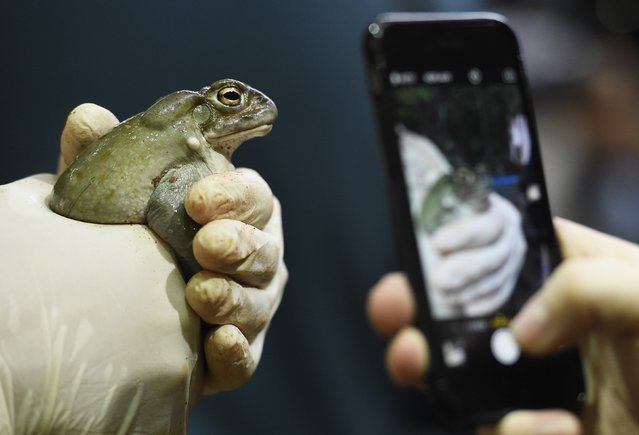 A journalist takes a photo of a Colorado River toad during the annual inventory in Hagenbeck's zoo in Hamburg, northern Germany December 29, 2014. (Photo by Fabian Bimmer/Reuters)