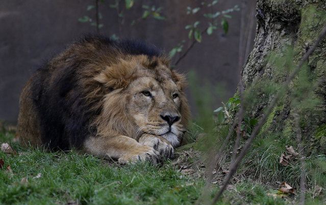"A male Asiatic Lion looks out from his enclosure at London Zoo, in London, Thursday, October 27, 2016. Environmentalists are warning that global wildlife populations have fallen an average of 58 percent when compared to the 1970s, in ""The Living Planet"" report from WWF and the Zoological Society of London. (Photo by Alastair Grant/AP Photo)"