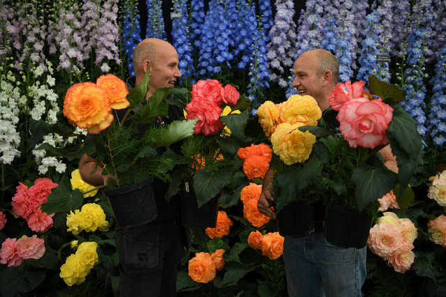 Workers hold Delphinium and Begonias flowers as preparations take place for the RHS Chelsea Flower Show in London, Britain, 20 May 2018. The RHS Chelsea Flower Show is a garden show held for five days by the Royal Horticultural Society in the grounds of the Royal Hospital Chelsea in Chelsea, London. It has been been held at since 1912 and runs this year from 22 May to 26 May 2018. (Photo by Neil Hall/EPA/EFE)