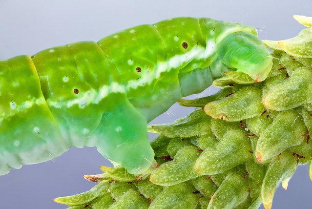 Pseudo feet. Geometridae (Geometer moth larva); Size: 21 mm. (John Hallmén)