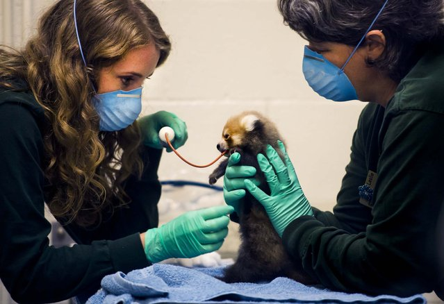 Veterinarian Anne Burgdorf feeds a Red Panda cub through a feeding tube with the help of Leslie Field, Supervisor of  Mammals, at the Sacramento Zoo in California, on July 29, 2013. The cub has been steadily getting stronger since his birth June 9. (Photo by Renee C. Byer/The Sacramento Bee)