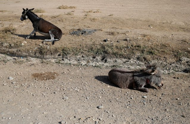 Donkeys injured during clashes between Iraqi soldiers and Islamic State fighters lie on the ground  in Al-Qasar, South-East of Mosul, Iraq November 28, 2016. (Photo by Goran Tomasevic/Reuters)