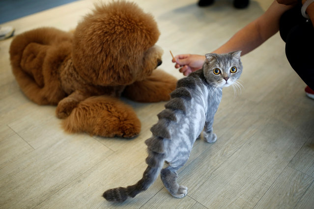 """A cat with a """"stegosaurus spine"""" design cut into its fur is seen next to a dog at a pet shop, in Tainan, Taiwan. (Photo by Tyrone Siu/Reuters)"""