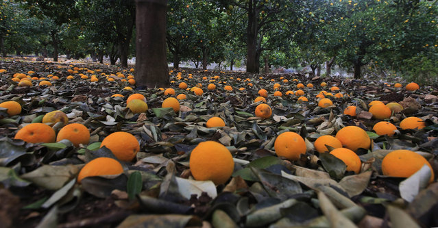 Orange fruit cover the ground of a plantation near the West Bank city of Nablus, 15 December 2016. After the region was recently hit by strong rainfalls and heavy storms, many trees lost their fruit in the harsh weather conditions. (Photo by Alaa Badarneh/EPA)