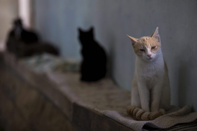 Street cats rest in the shelter house for feral cats at the SPCA (Society for Prevention of Cruelty to Animals) in Jerusalem, Israel 13 January 2016. (Photo by Abir Sultan/EPA)