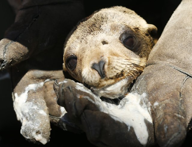 After being tube fed a mixture of food and water, a malnourished sea lion pup rests in the arms of an animal care specialist at Sea World in San Diego, California March 17, 2015. (Photo by Mike Blake/Reuters)