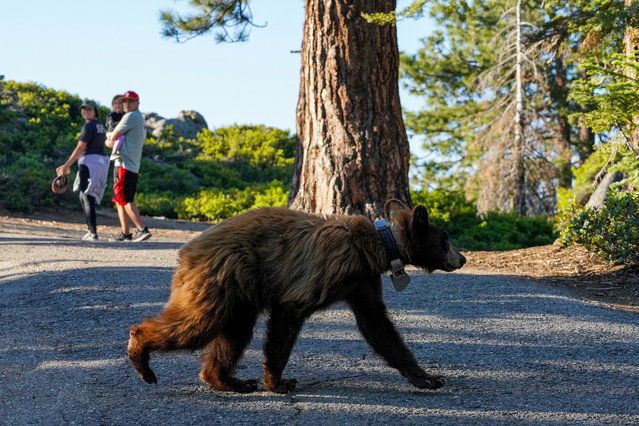 A bear crosses a paved trail as park visitors move away near Glacier Point in Yosemite National Park, California, U.S., July 2, 2021. (Photo by Tracy Barbutes/Reuters)