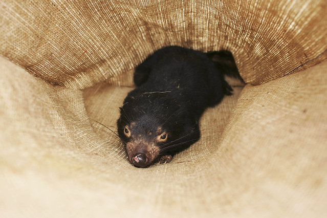 A Tasmanian Devil is seen in a sack after being captured in the wild to check for signs of the Devil Facial Tumor Disease October 10, 2005 near Fentonbury, Australia. (Photo by Adam Pretty/Getty Images)