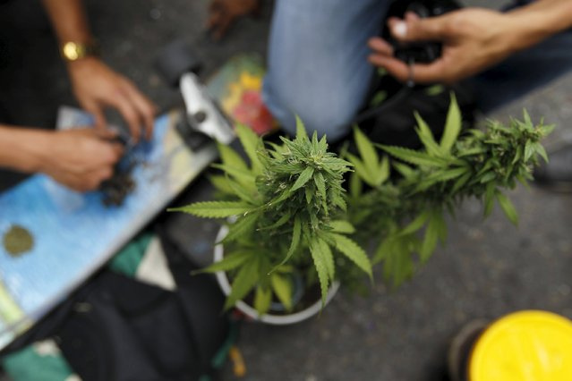 A marijuana plant during a demonstration in support of the legalization of marijuana in Medellin, May 2, 2015. (Photo by Fredy Builes/Reuters)