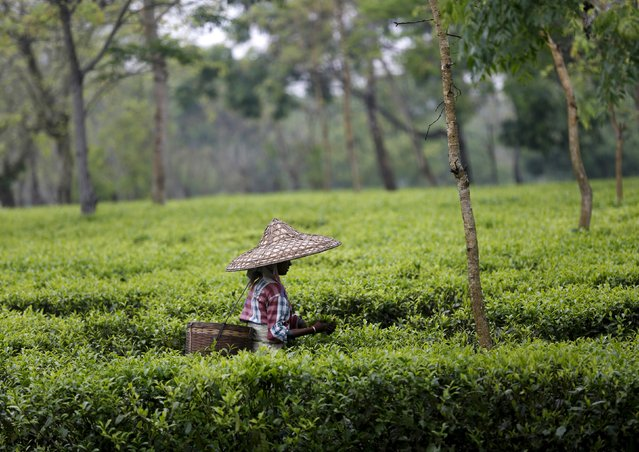 A tea garden worker wearing a jappi hat made out of bamboo and palm leaves plucks tea leaves inside Aideobarie Tea Estate in Jorhat in Assam, India, April 21, 2015. (Photo by Ahmad Masood/Reuters)