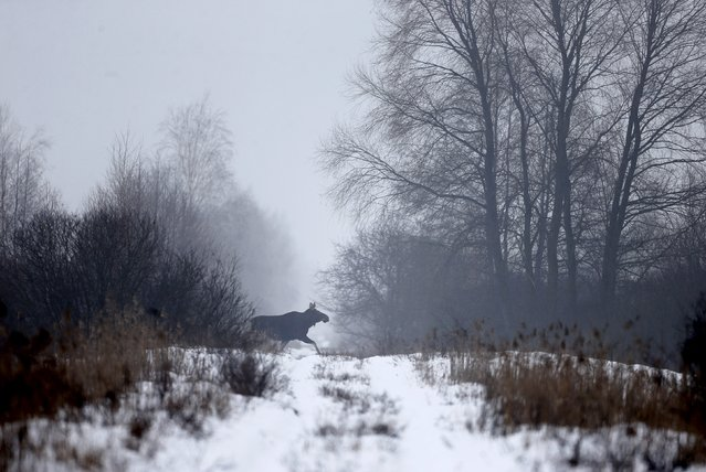 An elk runs in the 30 km (19 miles) exclusion zone around the Chernobyl nuclear reactor, near the village of Babchin, Belarus, January 27, 2016. (Photo by Vasily Fedosenko/Reuters)