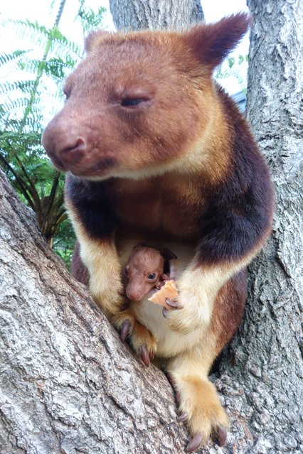 An undated handout image released on 14 March 2014 by the Taronga Zoo shows a tree kangaroo joey in the pouch of its mother Qwikila at Taronga Zoo in Sydney, Australia. The endangered Goodfellow's Tree Kangaroo has shown off its first joey in captivity, born in September, in more than 20 years in Sydney. (Photo by EPA/Taronga Zoo)