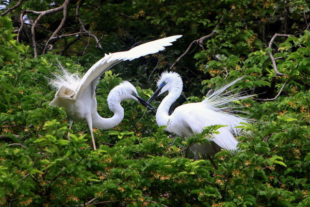 Egrets stand in a tree in Ajmer in the western Indian state of Rajasthan on July 2, 2019. (Photo by Himanshu Sharma/AFP Photo)