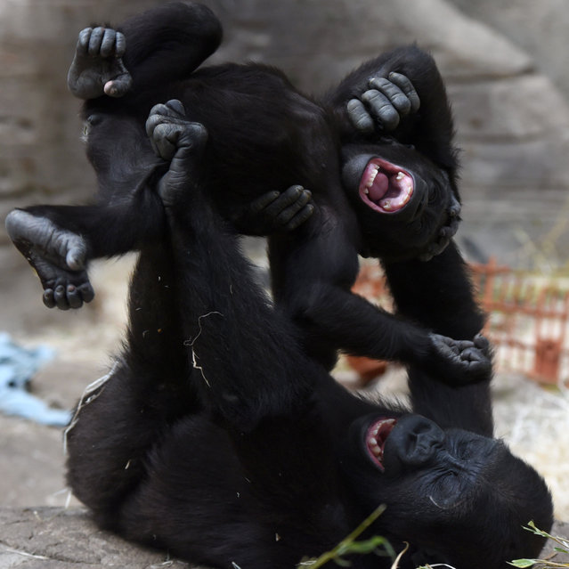 Yamila, a nine-month old western lowland gorilla, is thrown in the air playing with her brother, Gaikain, in their zoo enclosure  in Madrid, Spain on March 27, 2017. (Photo by Jorge Sanz García/Pacific Press via ZUMA Wire/Rex Features/Shutterstock)