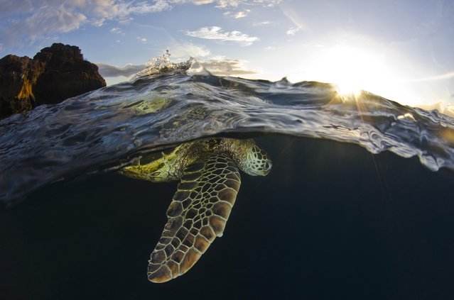 Breath at sunset, captures a sea turtle at a dive site called Black Rock. Kāʻanapali, Hawaiʻi, August 2013. (Photo by Christopher Doherty/Smithsonian.com)