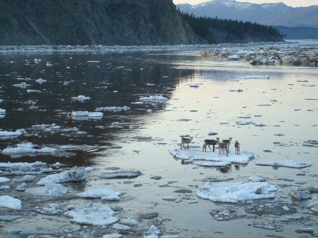 In this May 3, 2014, photo provided by the Alaska Department of Homeland Security and Emergency Management, caribou hitch a ride on an ice chunk in the Yukon River near Circle, Alaska. (Photo by Claude Denver/AP Photo/Alaska Department of Homeland Security and Emergency Management)