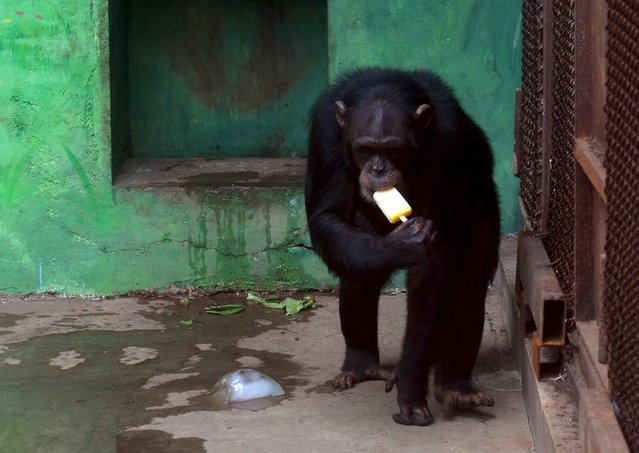 A chimpanzee eats an ice pop to cool off the summer heat in Shenyang, Liaoning province, July 12, 2015. (Photo by Reuters/China Daily)